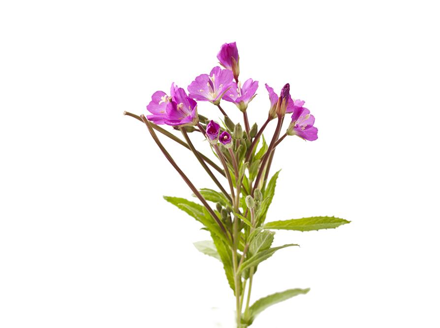 ceai pufulita flori mici